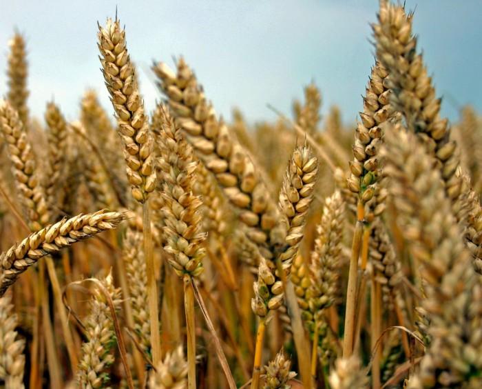 Het verhaal van het graan